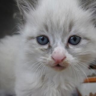 OS-725  可愛い子猫です。白長毛