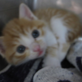 OS-726 可愛い子猫です。茶トラ白