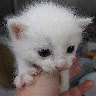 OS-730 可愛い子猫です。白