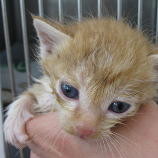 OS-731 可愛い子猫です。茶トラ白