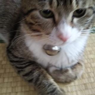 人が大好き 1歳くらいのキジシロの雄猫とゃん