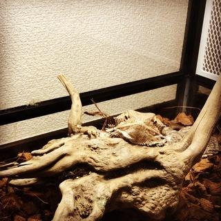 臆病なフトアゴヒゲトカゲ(ノーマル)