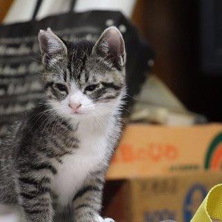 人馴れバツグン可愛い仔猫さん、銀ちゃんです
