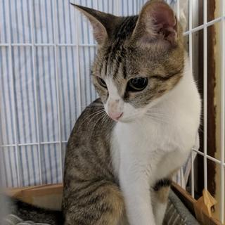 愛くるしいお顔の猫さん【4/29譲渡会参加】