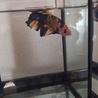 熱帯魚です。カラフルです。
