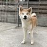 急募!秋田犬の女の子 サムネイル2