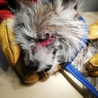 遺棄されたと思われる老犬、ラベル♂  サムネイル3