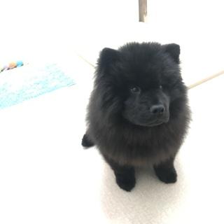 希少 黒いチャウチャウ 子犬 5カ月