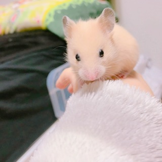 【急募】キンクマハムスターの赤ちゃん