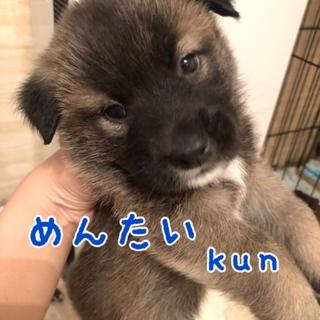 めんたい kun ⭐️ 8週齢