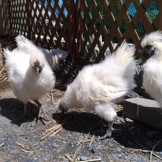 烏骨鶏のオス、生後70~80日