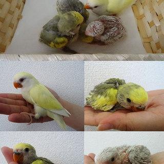 コザクラインコの雛4羽の里親様募集