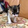 生まれたばかりの仔猫ちゃんです