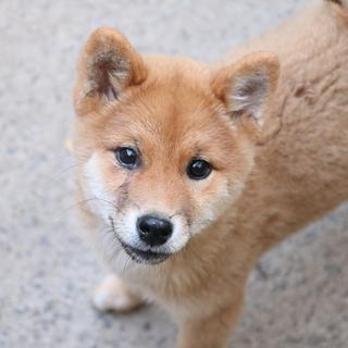 赤柴犬 メス 約4ケ月