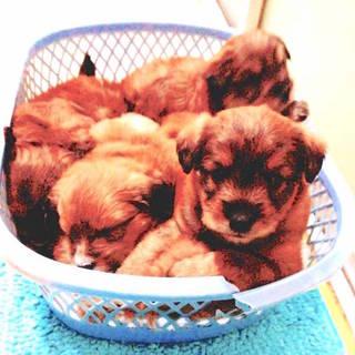 1ヶ月半の5頭兄妹(中型犬)(野良保護犬)