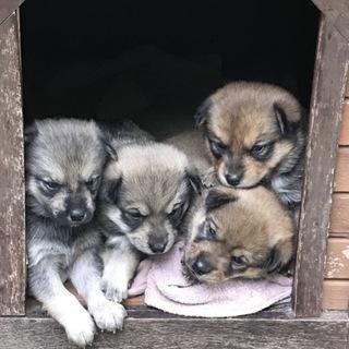 里親募集!可愛い子犬、母親共にヘルシー