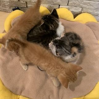 急募  子猫 三毛猫  雌 募集