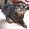 人見知りでも甘えたい8kgの大猫☆エースくん 4歳
