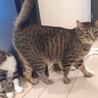 人見知りでも甘えたい8kgの大猫☆エースくん 4歳 サムネイル2