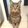 人見知りでも甘えたい8kgの大猫☆エースくん 4歳 サムネイル3