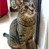 人見知りでも甘えたい8kgの大猫☆エースくん 4歳 サムネイル4