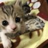 2匹の赤ちゃん猫優しい家族募集中!