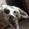 優しい秋田犬です