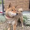 大人しい柴犬 5歳 サムネイル4