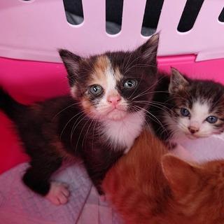 スタンダード系の可愛い三毛猫の子猫さんです