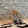 子猫  茶トラ白  オス