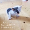 お試しホームステイ可★子猫【保護猫】 サムネイル3
