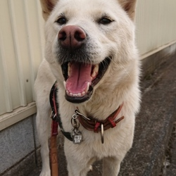 紀州犬2歳になりました。