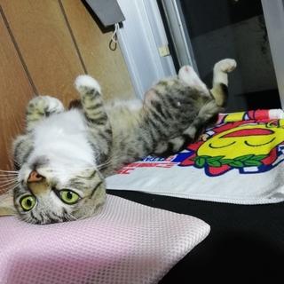 キジトラ オス仔猫 里親募集します。