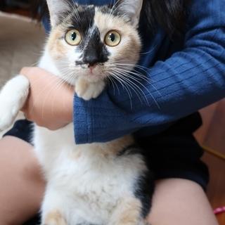 三毛猫の里親 募集します! 抱っこ大好き!