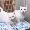オッドアイで美しい白猫姉妹とても優しくて穏やかです