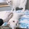 オッドアイで美しい白猫姉妹とても優しくて穏やかです サムネイル2