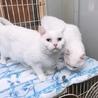 オッドアイで美しい白猫姉妹とても優しくて穏やかです サムネイル3