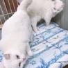 オッドアイで美しい白猫姉妹とても優しくて穏やかです サムネイル4