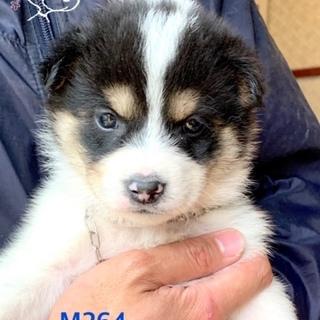 個体番号:M264 一ヶ月の可愛い子犬です。