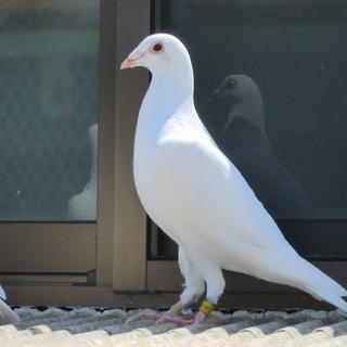 純白鳩(白雪南部と白菊の仔)今年生れ