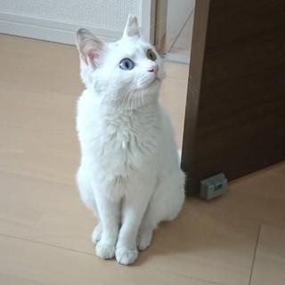 12カ月の白猫ちゃん。甘えん坊&元気な女の子です。