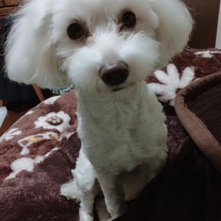 急募 プードル・マルチーズのミックス犬