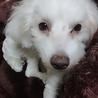 急募 プードル・マルチーズのミックス犬 サムネイル2