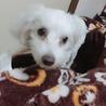 急募 プードル・マルチーズのミックス犬 サムネイル4