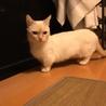 白 マンチカン★瞳の綺麗な女の子 6歳 サムネイル7