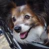 笑顔の可愛いパピヨンの女の子です サムネイル5