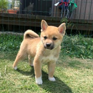 柴系子犬ホーくん 2ヶ月