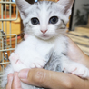 サバ白子猫⭐︎美形兄妹⭐︎長女よつばちゃん