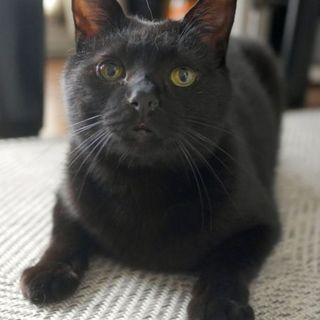 【5/18キャットソシオン譲渡会】黒猫のマリモくん