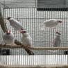 シルバー文鳥5羽の里親募集